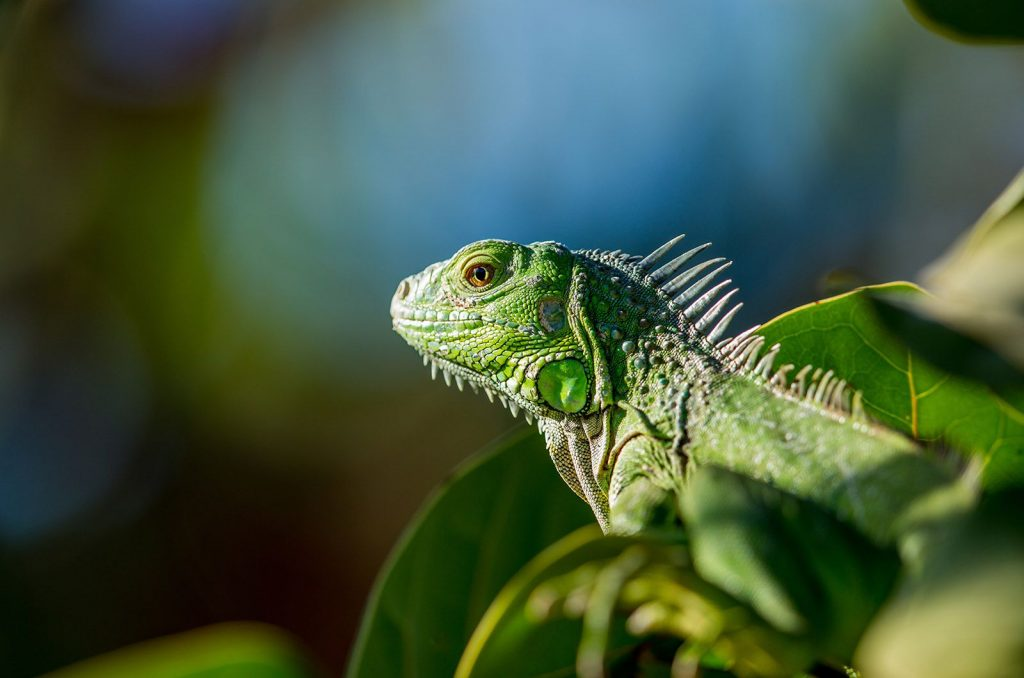 green-iguana1